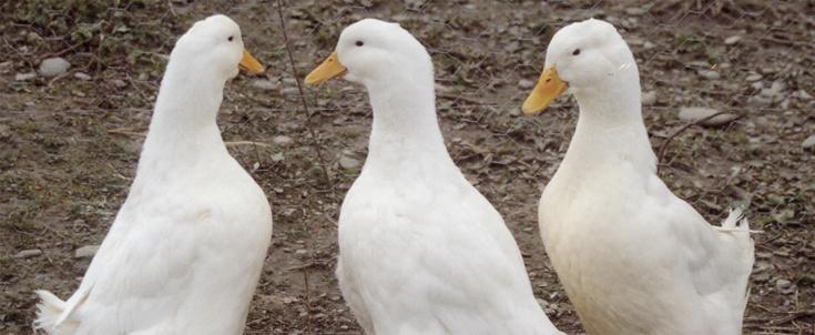 canard pour lutter contre les limaces