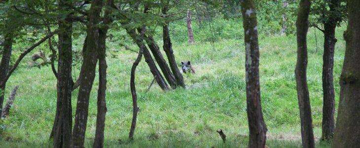 Le loup est de retour dans les Vosges