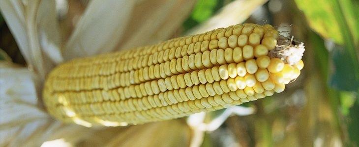 Epi de maïs OGM