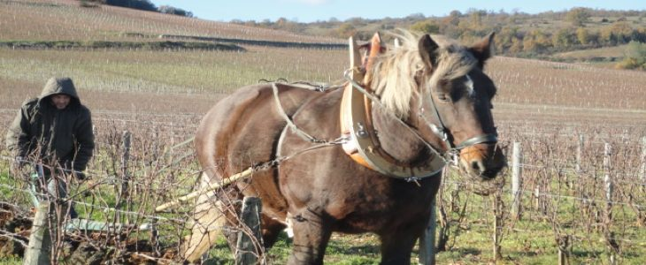 Cheval dans des vignes en biodynamie du Domaine de la Romanée Conti © La Fontaine des Sens.