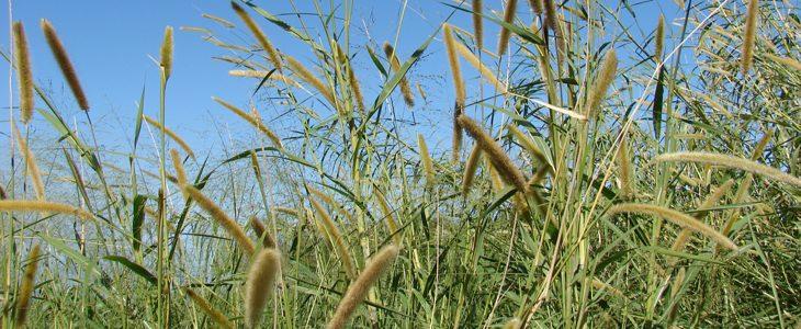 Biocarburant de deuxième génération et herbe à éléphants