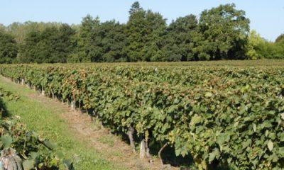 viticulture et pesticides à l'arsenic