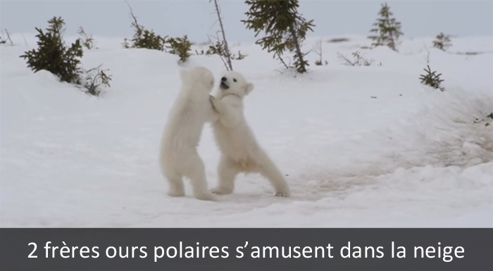 nature ours polaires