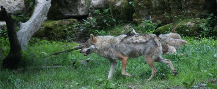 loups et troupeaux
