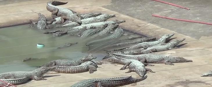 elevage-birkin-crocodile-hermes