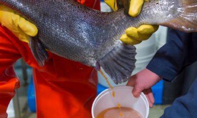 prélèvement semence saumon transgénique