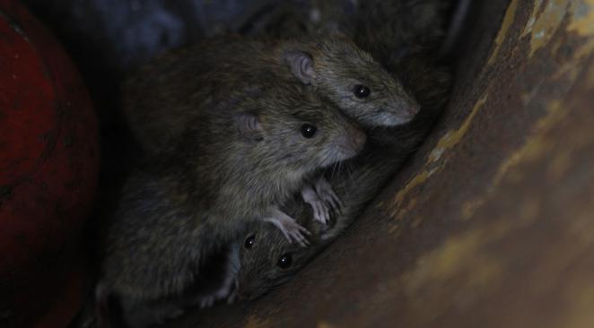 Rat ville