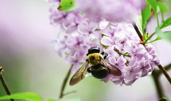 abeille-trefle