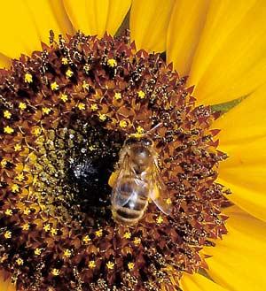 abeilles-pollinisateurs.jpg