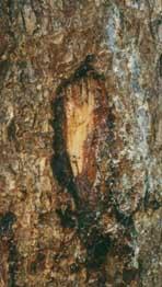 marque sur arbre cerf et biche