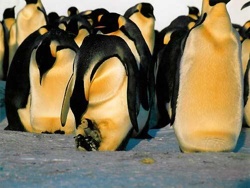 http://www.univers-nature.com/wp-content/uploads/manchot-antarctique.jpg