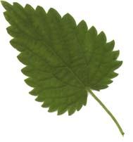 Ortie une plante pleine de ressources redcouvrir univers feuille ortie altavistaventures Image collections