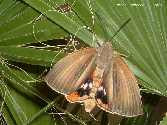 """Résultat de recherche d'images pour """"papillon tueur de palmier"""""""