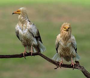 Le sud est de la france terre d 39 asile du vautour for Oiseaux du sud de la france